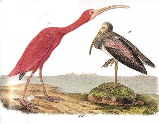 Audubon Birds. Ausgesuchte Druckgrafiken aus »Birds of America«.
