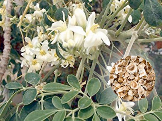 Samen »Moringa oleifera«.