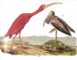 Audubon Birds. Ausgesuchte Druckgrafiken aus »Birds of America«. Bild 1