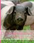 Das Schweinebuch. Von schönen Kühen, seltenen Rassen und dem Wohl der Tiere. Bild 1