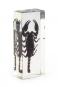 Waldskorpion in Acrylblock gegossen. »Heterometrus spinifer«. Bild 1