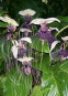 Anzuchtset »Fledermausblume«. Bild 2