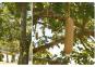 Samen »Leberwurstbaum«. Bild 2