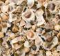 Samen »Moringa oleifera«. Bild 2