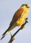 Vogelstimmen - Unsere Vögel und ihr Gesang Bild 2