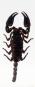 Waldskorpion in Acrylblock gegossen. »Heterometrus spinifer«. Bild 2