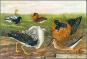 Bunte Vögel aus aller Welt - Limitierte und numerierte Sonderedition auf 300 Exemplare - Nachdruck der Originalausgabe Bild 3