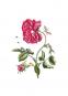 Maria Sibylla Merian. Der Raupen wundersame Verwandelung und sonderbare Blumennahrung. 2 Bände. Bild 3