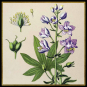 Pflanzen. Meisterwerke der botanischen Illustration. Wandkalender 2021. Bild 3