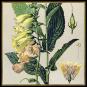 Pflanzen. Meisterwerke der botanischen Illustration. Wandkalender 2021. Bild 4