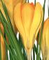 Zwiebelblumen. Historische Sorten. Bild 4