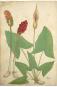 Die Bildgeschichte der Botanik. Pflanzendarstellungen des 15.-18. Jahrhunderts aus der Sammlung Christoph Jacob Trew. Bild 5