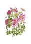 Maria Sibylla Merian. Der Raupen wundersame Verwandelung und sonderbare Blumennahrung. 2 Bände. Bild 7